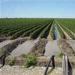 04-Irrigating-Cotton