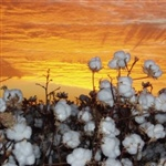 06a-Sunset-cotton-plants